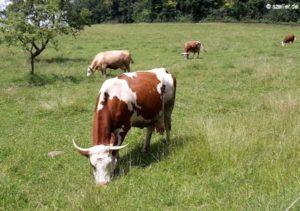 Kühe auf der Weide.