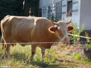 Kuh auf der Weide.