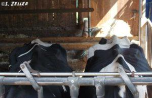 Ausgemergelte Milchkühe im Unterstand.